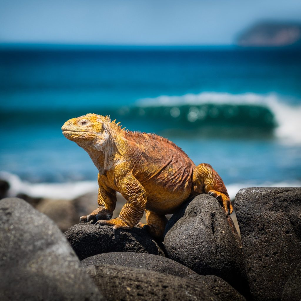 Orange iguana from Galapagos islands